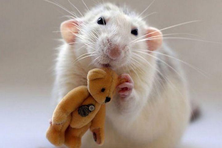 Белая крыса с игрушкой