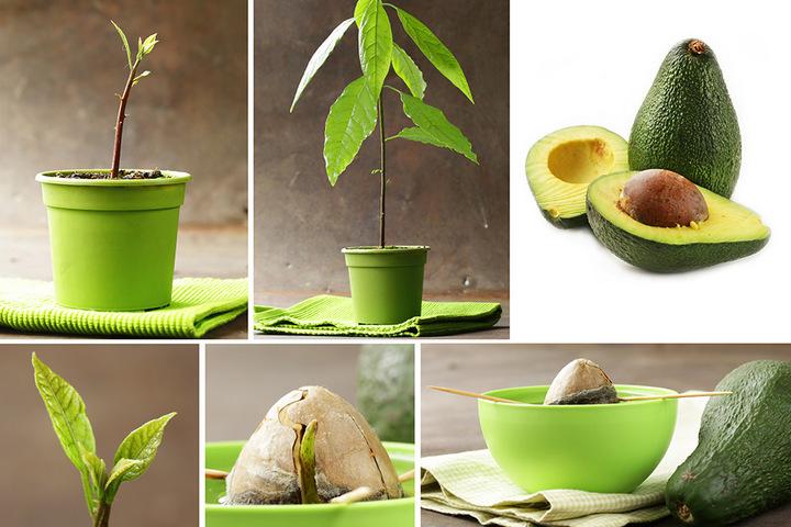 Процесс проращивания авокадо