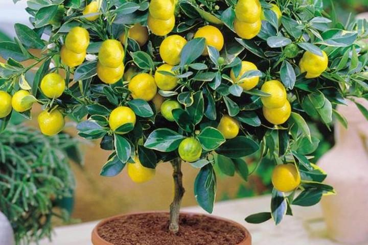 Лимонное дерево в квартире