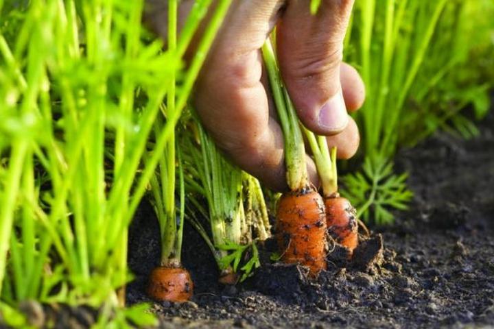 Морковь в квартире