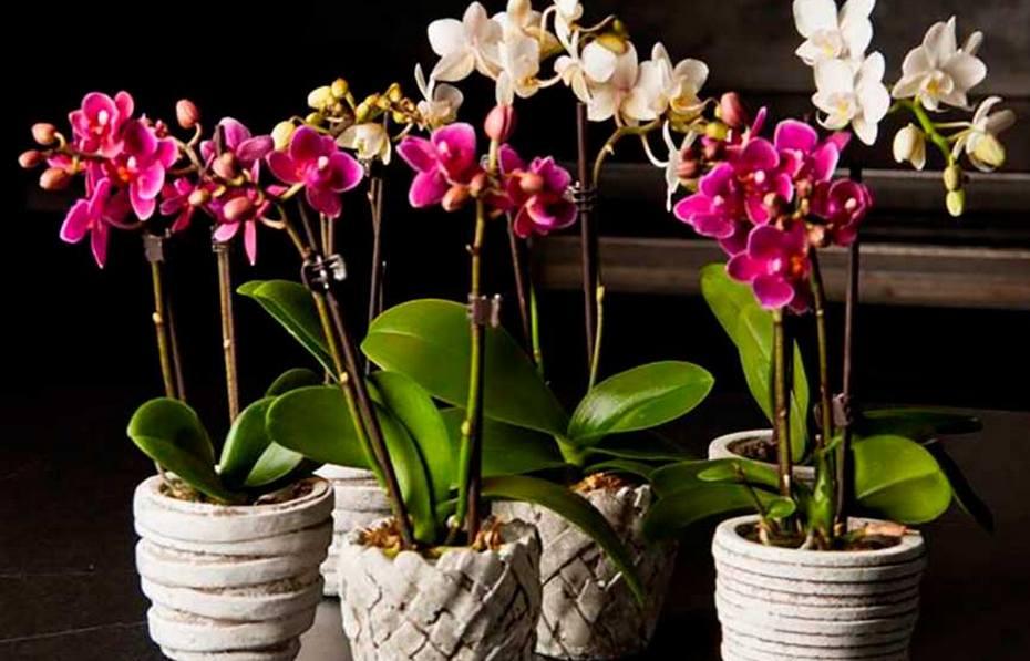 Домашняя орхидея