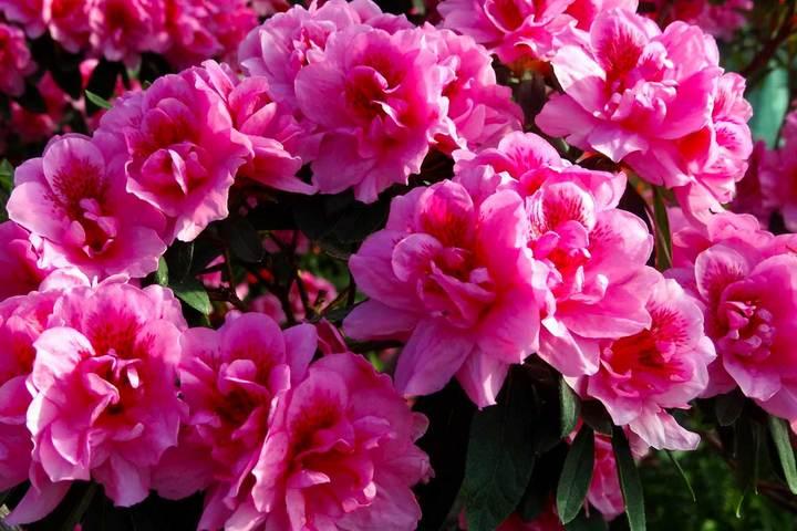 Розовые цветения азалии