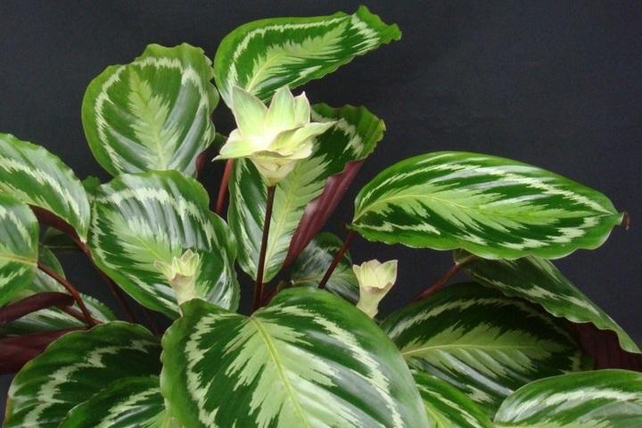 Комнатное растение - калатея
